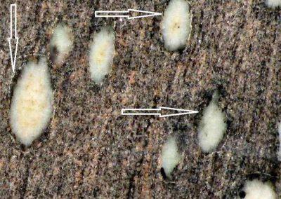 2. Detail van 1. De ovale vlekken bestaan uit grijswitte sillimaniet. Om de vlekken zien we zwarte biotietranden. (Pijlen)